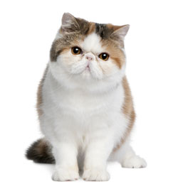 Images - Blue exotic shorthair kittens for sale
