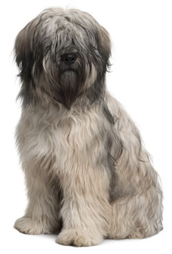 Catalan Sheepdog