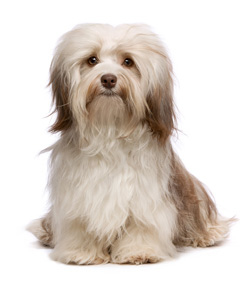 Breeders Online Pedigree Breed Info Havanese