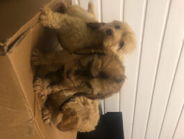 Cockapoo F1 puppies Licenced Breeder