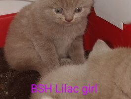 One Lilac BSH kitten