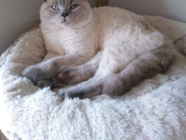 BSH lilac colourpoint stud