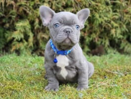 Our chubby little blue Frenchie who loves to play and is tons of fun!