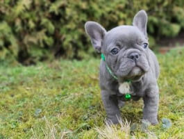 striking blue Frenchie who loves to play and is tons of fun!