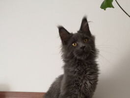 Male - Blue smoke Maine Coon with pedigree