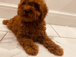 Adorable litter of Red toy poodle PRA clear