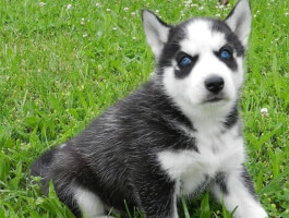 Super adorable, striking siberian husky who loves to play and is tons of fun!