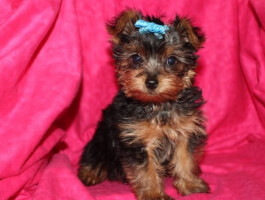 striking yorkshire terrier who loves to play and is tons of fun!