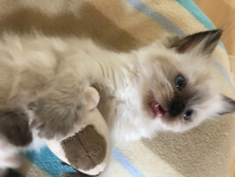 GCCF full pedigree seal colourpoint female Ragdoll