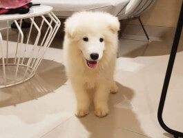 Absolutely KC Samoyed Puppies 4 sale