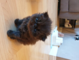 Black male Persian