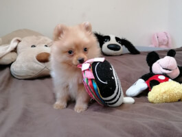Stunning Mini Pomeranian Kc registered from health tested parents