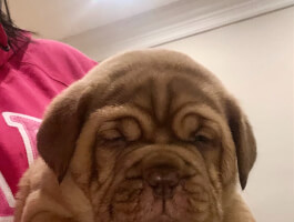 SHOW QUALITY DOGUE DE BORDEAUX