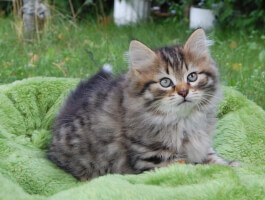 Waiting list - kittens expected in March