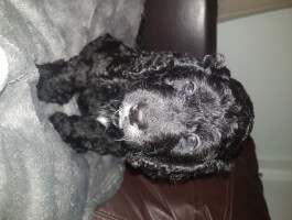 1 Beautiful Male cockapoo puppy
